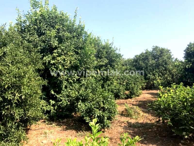 Erdemli Kargıpınarında satılık imara acık 4000m2 limon bahçe
