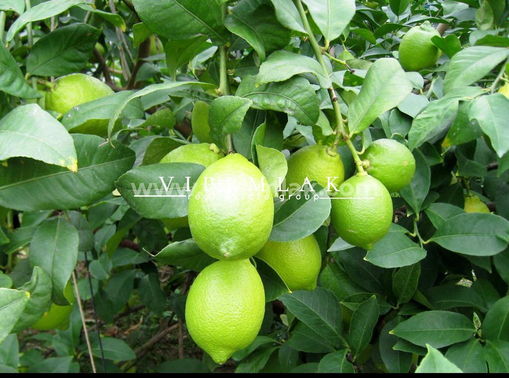 Mersin Erdemli Kocahasanlı 8295 m2 Deniz Manzaralı Satılık Limon Bahçesi